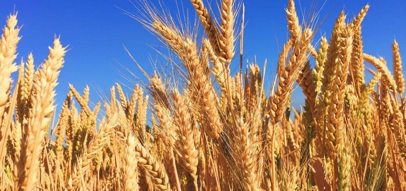 wheat-863392_1920