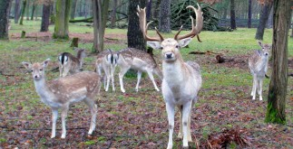 fallow-deer-group-262168_1920