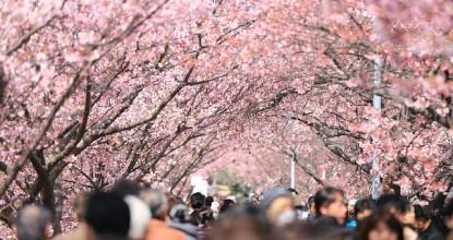 cherry-tree-984545_640