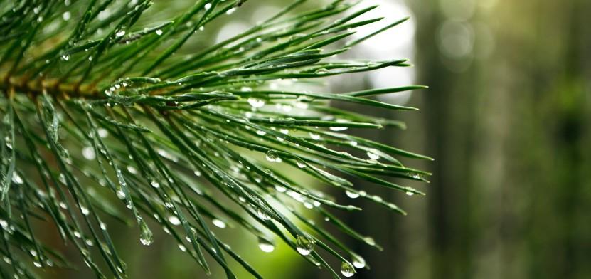 pine-895439_1920