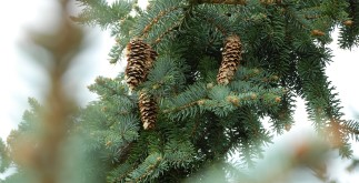 pine-tree-1082054_1920